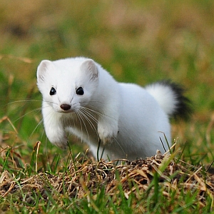 weasel's Photo
